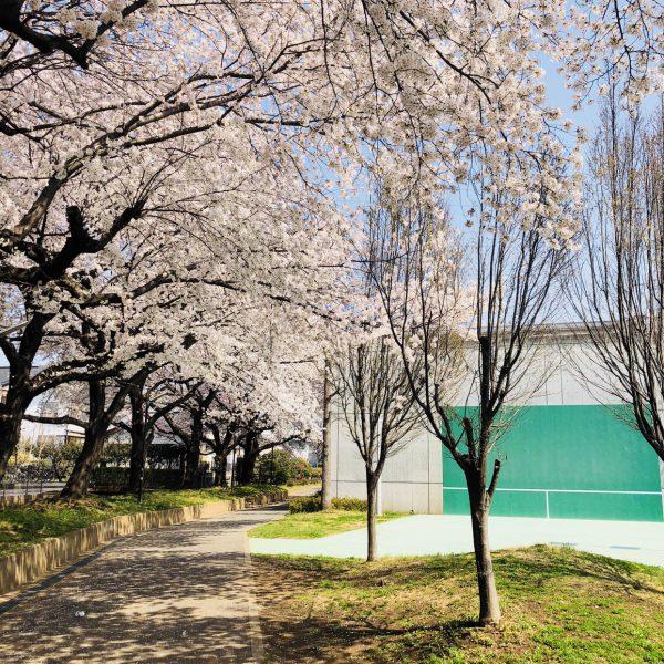 桜が満開の中…